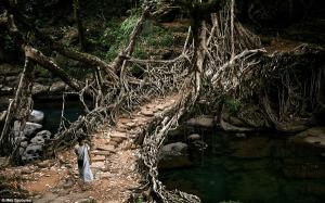 自然の力で作られた奇跡の生きている橋 - Bridges made from roots -