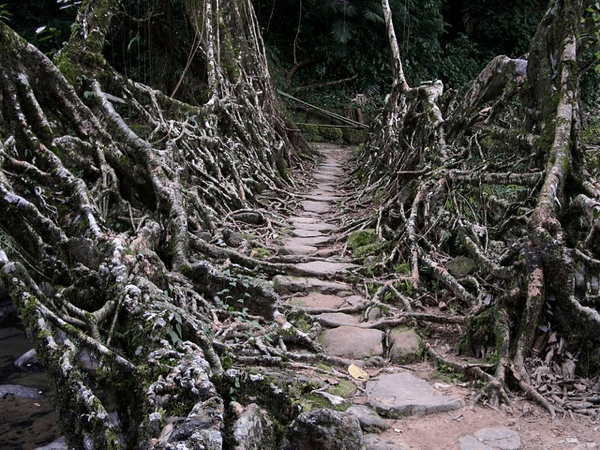 Bridges made from roots