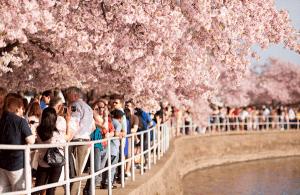 もう満開!友情の架け橋と評されるワシントンの桜並木 - Gorgeous Cherry Blossoms Celebrate Spring - #桜2012