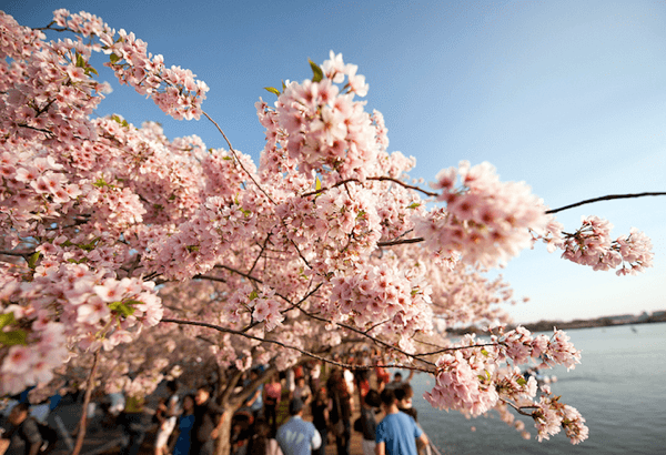 Gorgeous Cherry Blossoms Celebrate Spring