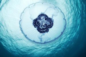 海の中の宇宙。紅海の神秘的なクラゲ - Mystical Jellyfish in the Red Sea -