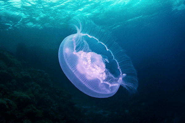 Mystical Jellyfish in the Red Sea