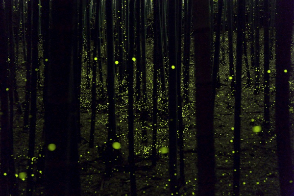 Magical Long Exposure Photos of Fireflies in Japan