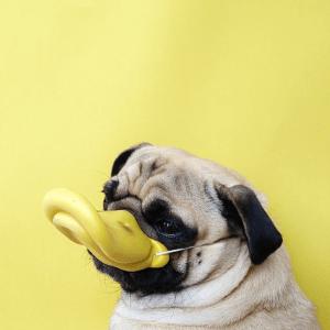 衝撃的なかわいさ(笑) instagramで大人気の表情豊かなパグ犬 - Pug Norm