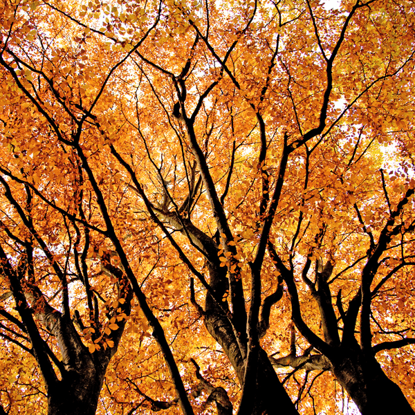 Fall Trees Exploding with Color